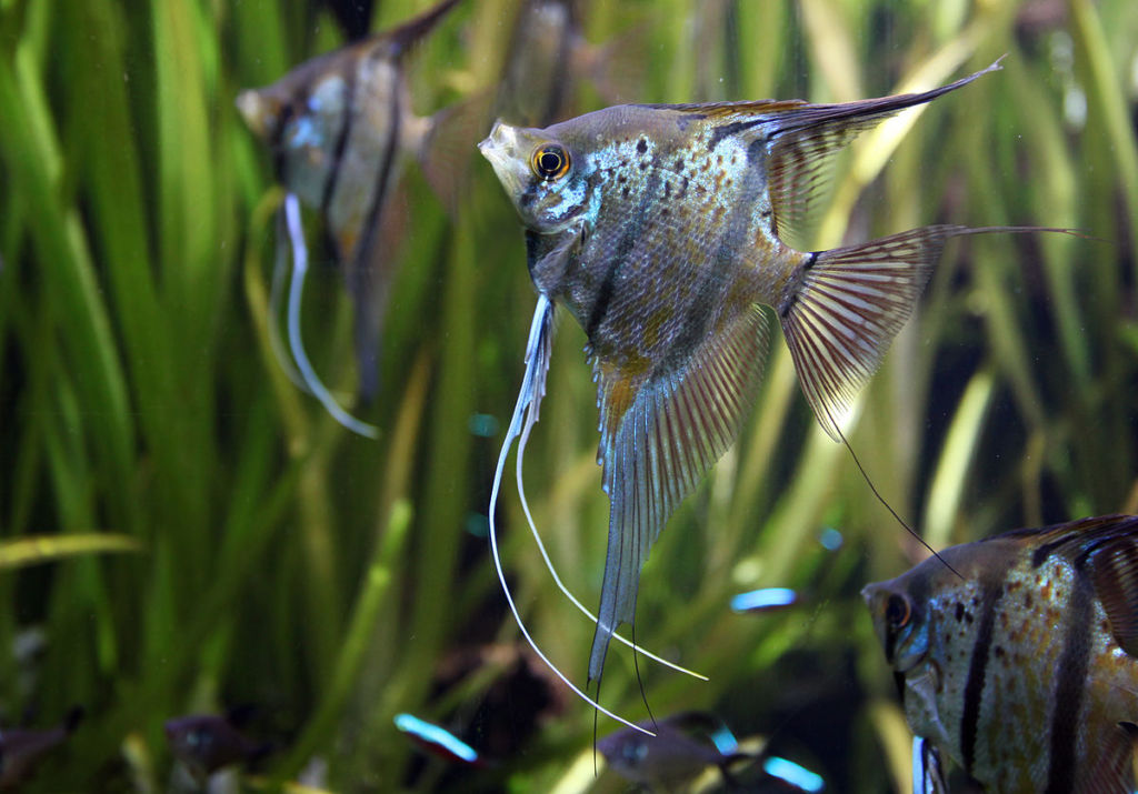 Правильный уход и содержание скалярий в аквариуме