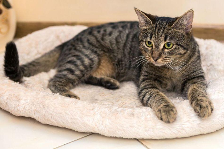 Кошка Табби