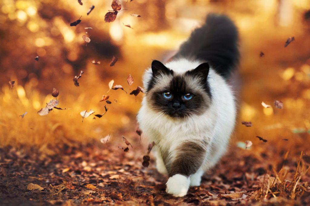 Стандартный вид гималайской кошки