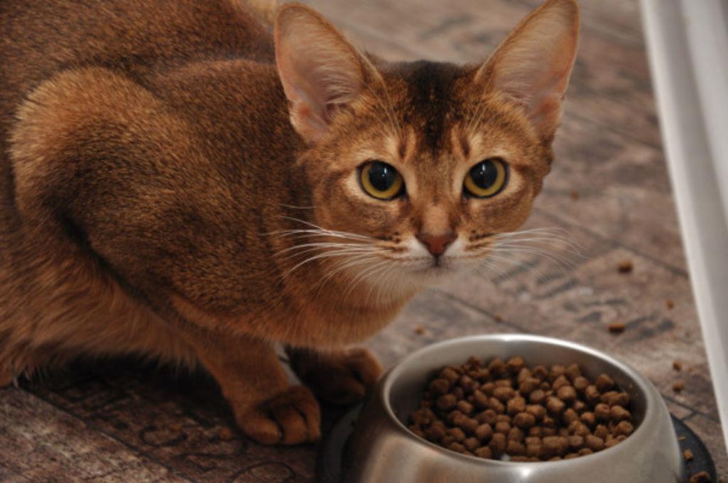 Правильное кормление абиссинских кошек и котят