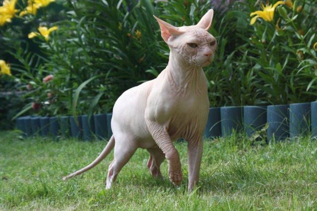 Кохана или Гавайская бесшерстная кошка