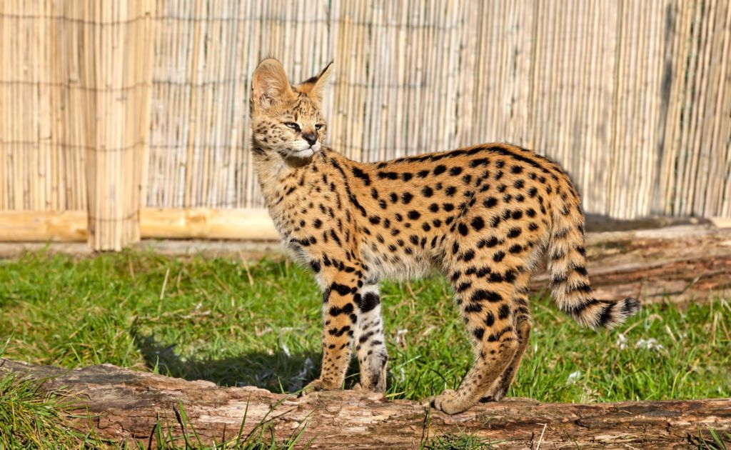 Кошка Сервал относится к самой дорогой и редкой в мире породе