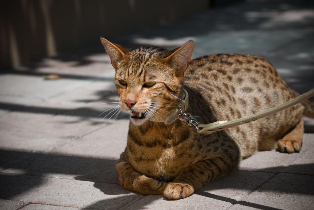 Кошка порода Ашера