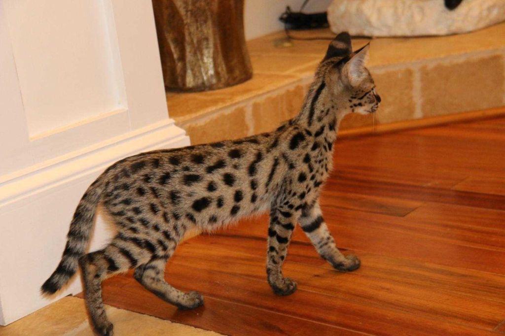Кошка порода Саванна
