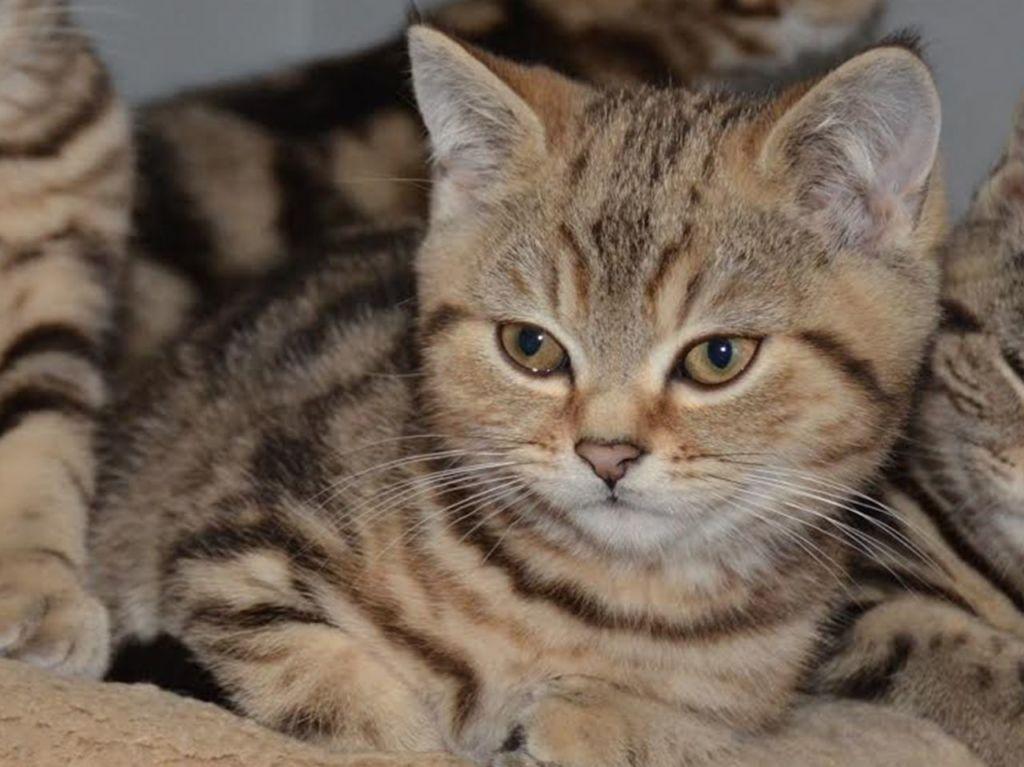 Кошка порода Табби