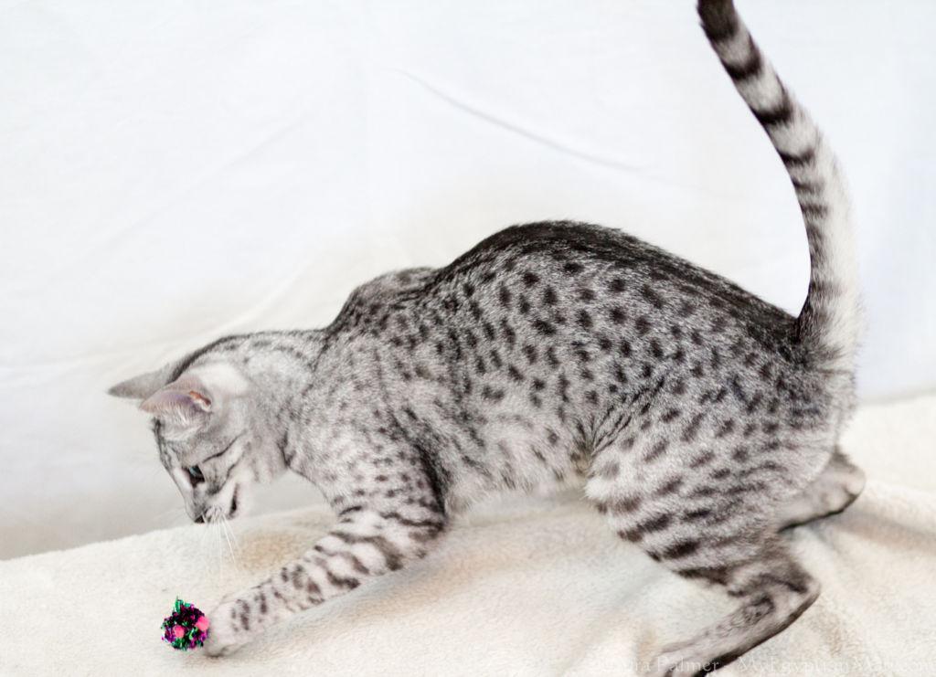 Кошка породы Египетская мау