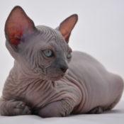 Подробное описание породы кошек эльф