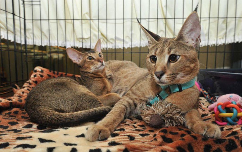 Помесь каракала и домашней кошки унаследовала дикий природный окрас шерсти