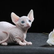 9 самых маленьких пород кошек — мини кошки