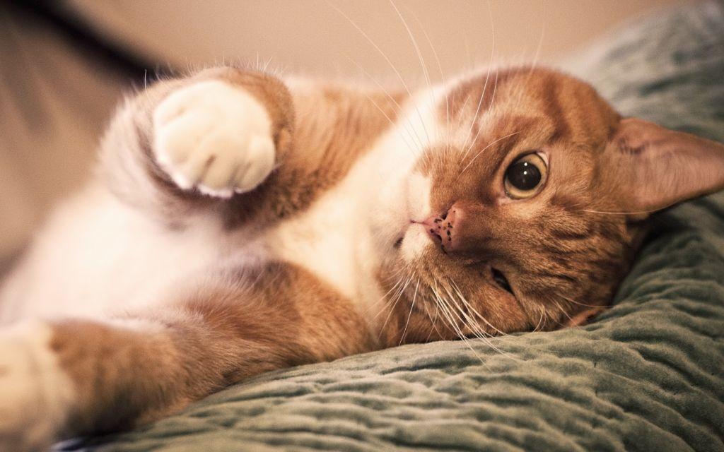 Введение препарата прекращает развитие течки у кошки и снимает все ее отрицательные проявления