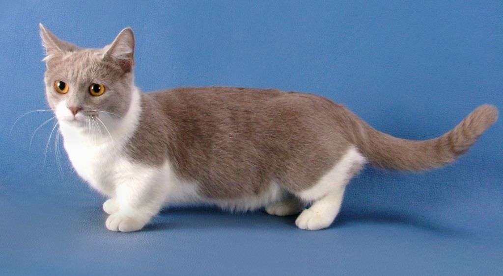 Манчкин кошка (кошка такса)