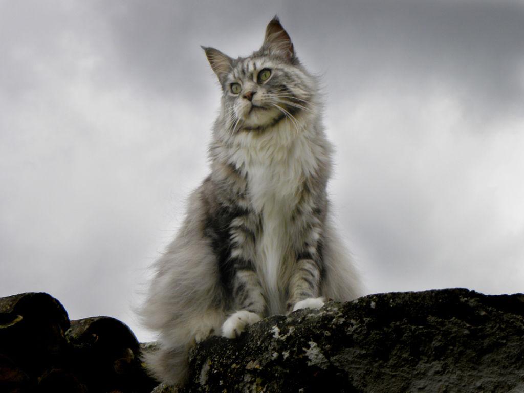6 самых больших пород кошек в мире