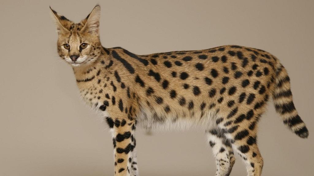 Кошка саванна – это удивительное домашнее животное, которое выглядит как настоящий хищник