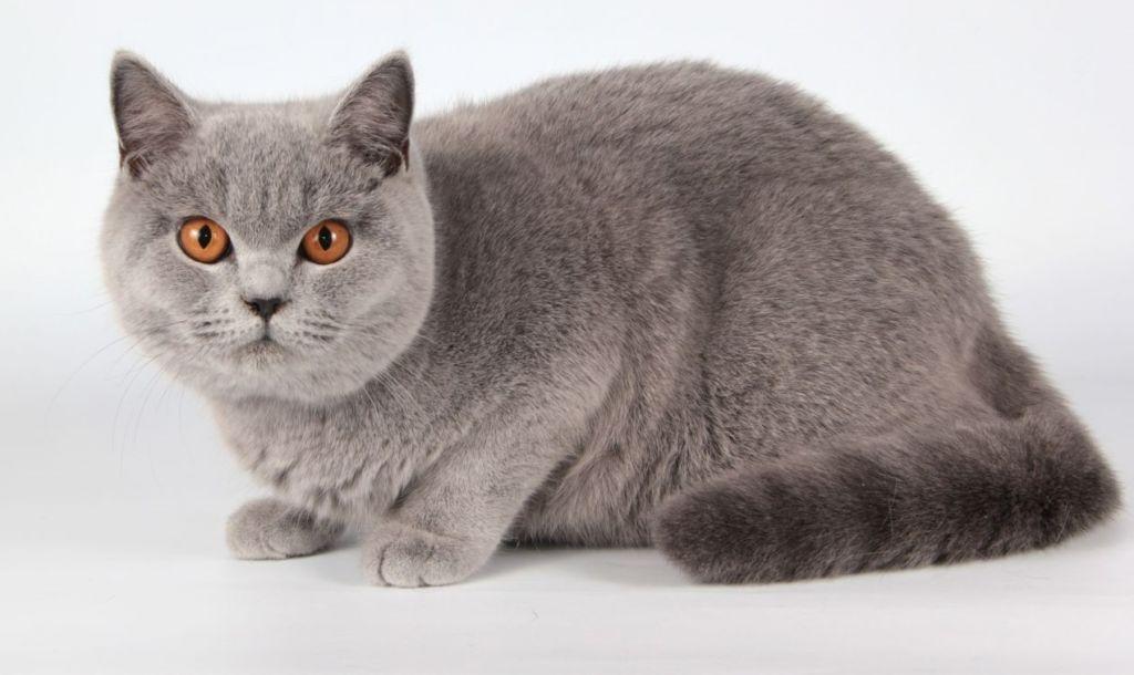 Обычный вид британской короткошерстной кошки