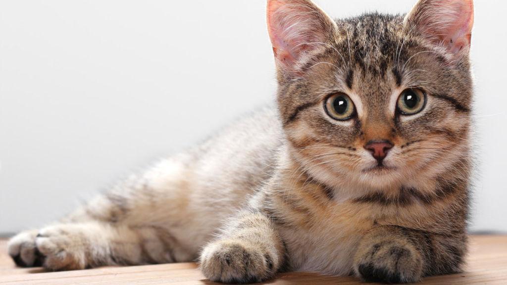 Впервые течка у кошки наступает в возрасте от 7 до 9 месяцев