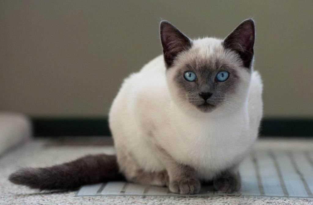 Тайская кошка легко поддается деликатной дрессировке