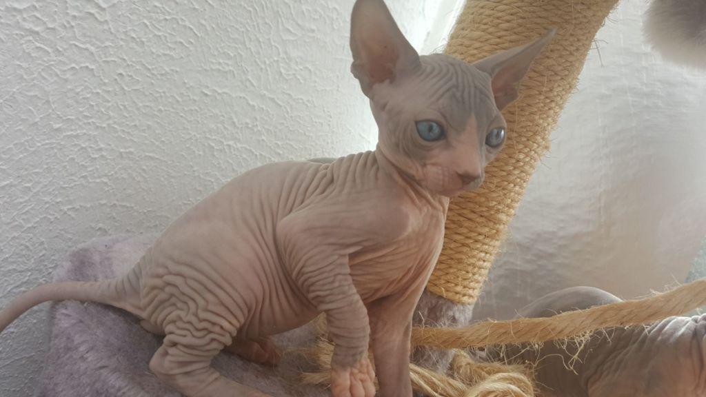Первая течка у кошек наступает в 6 месяцев