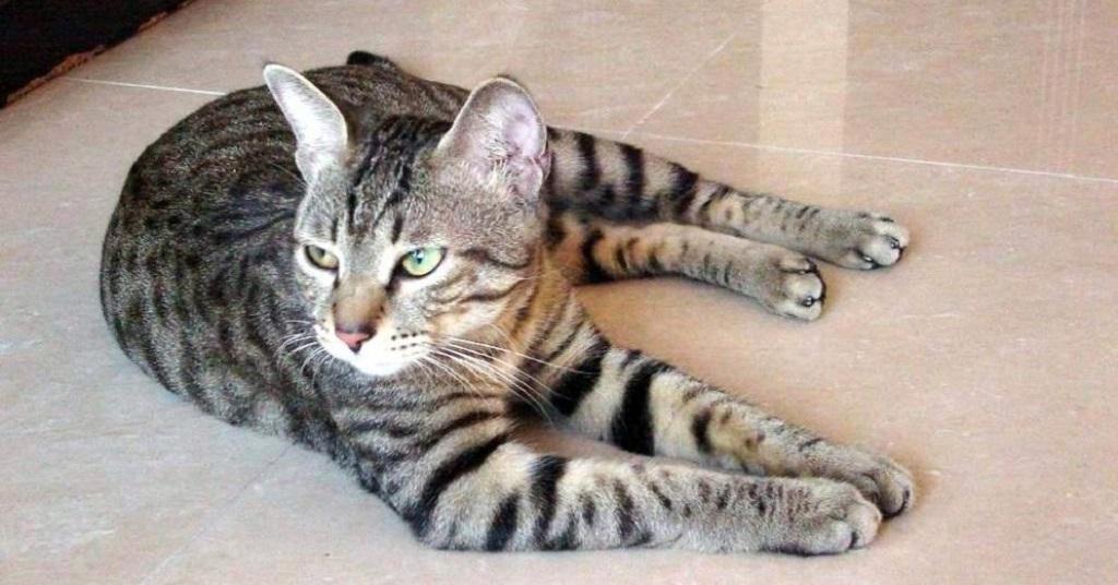 Телосложение этих кошек мускулистое, корпус крепкий и стройный