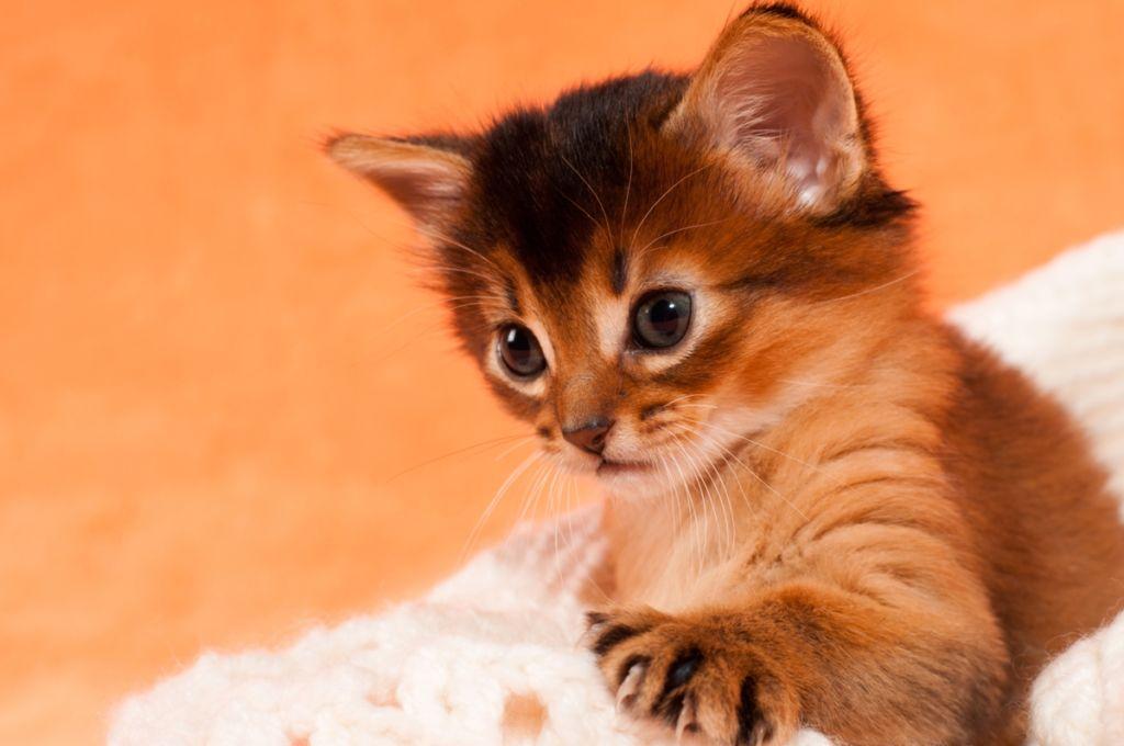 кормление сомалийских котят