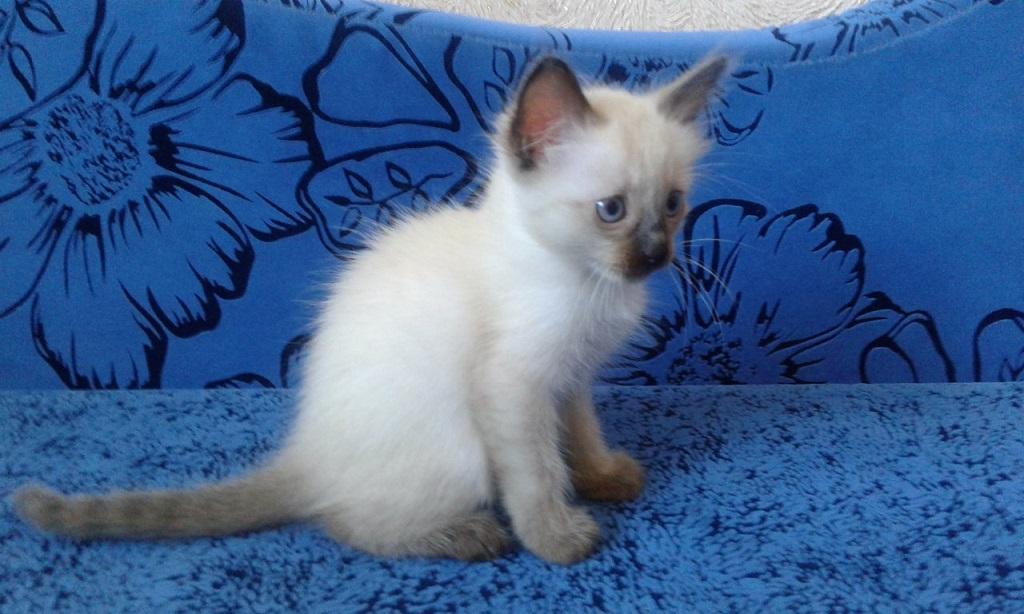 На цену тайского котёнка очень влияет его окрас