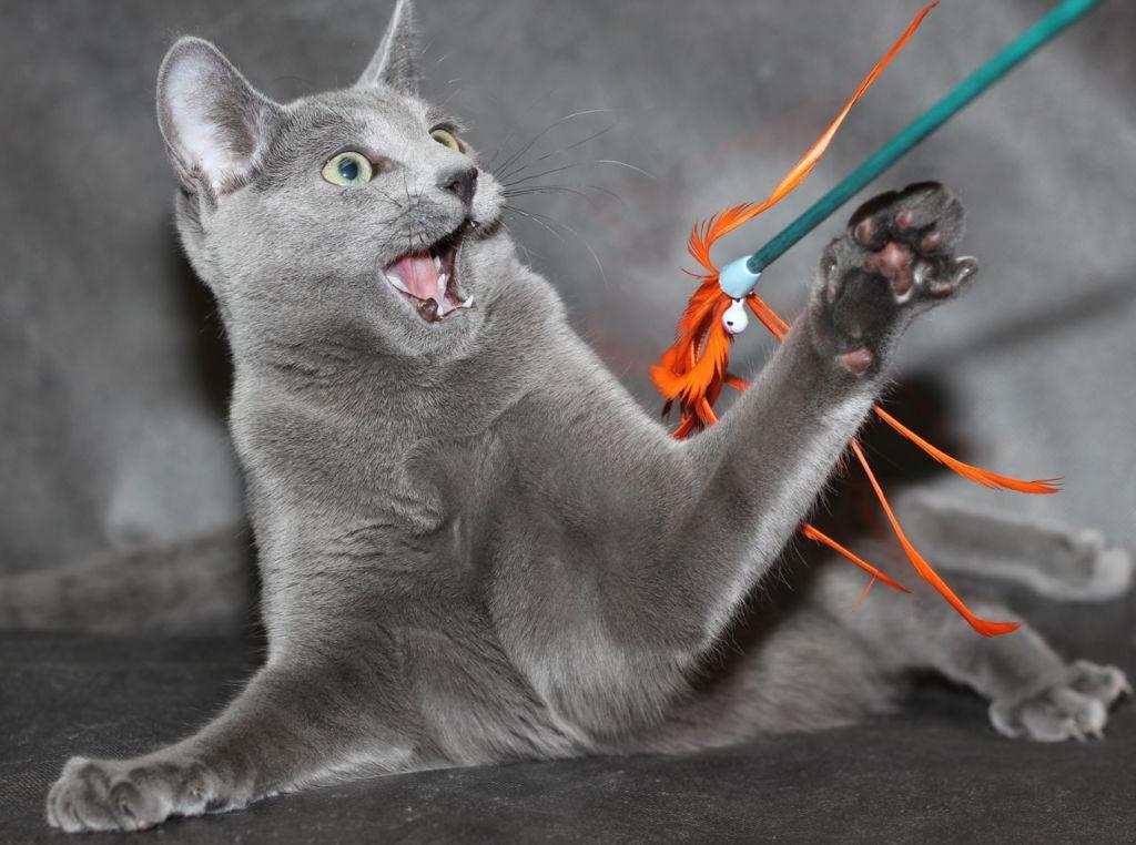 темперамент русской голубой кошки