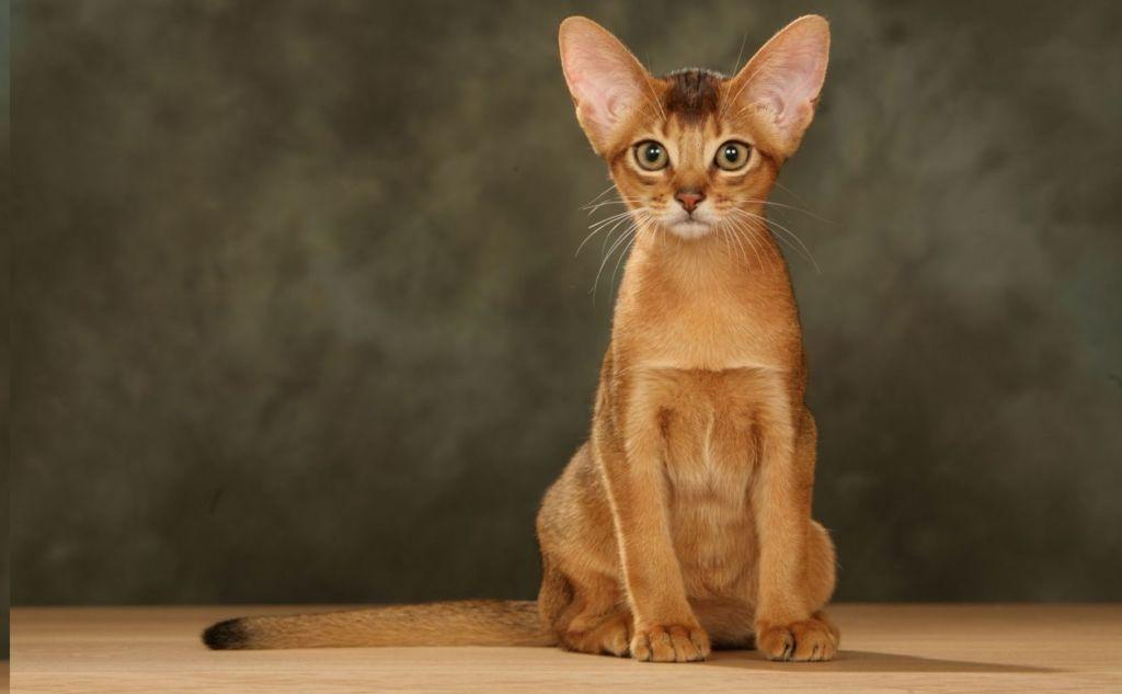 Характерный вид абиссинской кошки