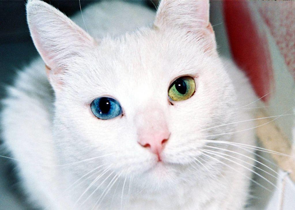 Као мани - белоснежные кошки