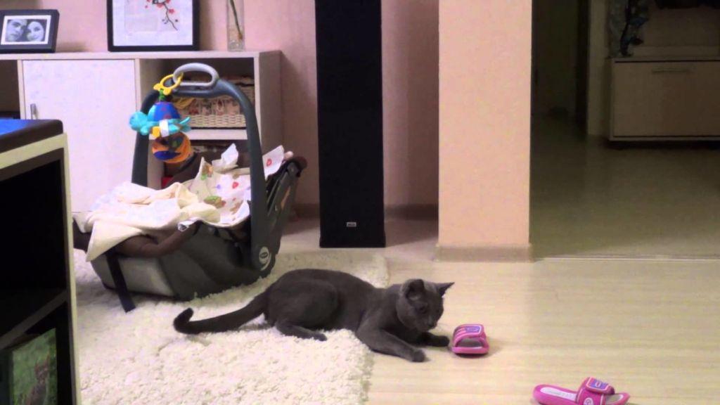 Русская голубая кошка очень игрива
