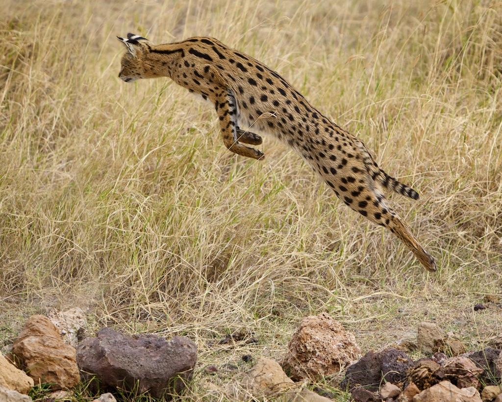 Сервал дикое животное, которое имеет склонность к прыжкам