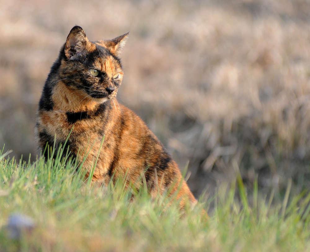 Черепаховая кошка с рыжим