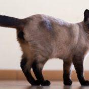 Подробное описание породы сиамской кошки