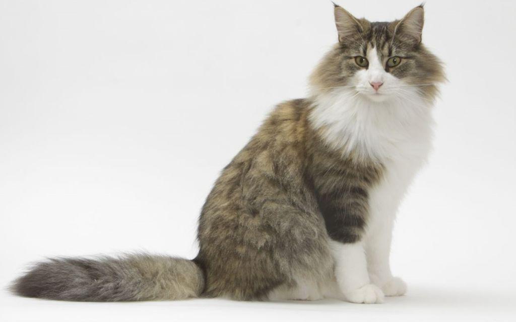 Здоровье норвежских кошек