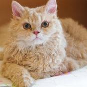 8 самых популярных пород кудрявых кошек