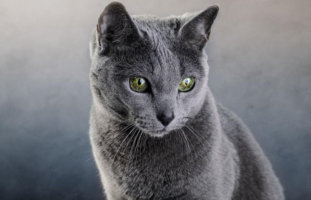 Питание русской голубой кошки