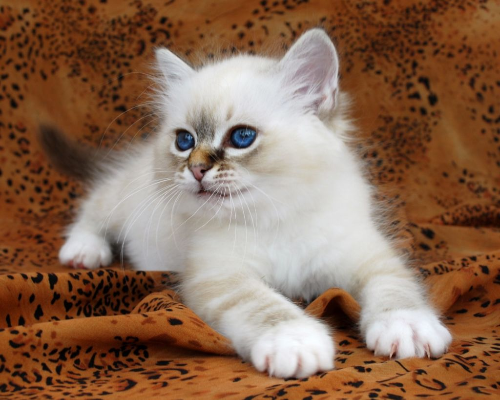 Нужный окрас у котят проявляется только к 6 месяцам