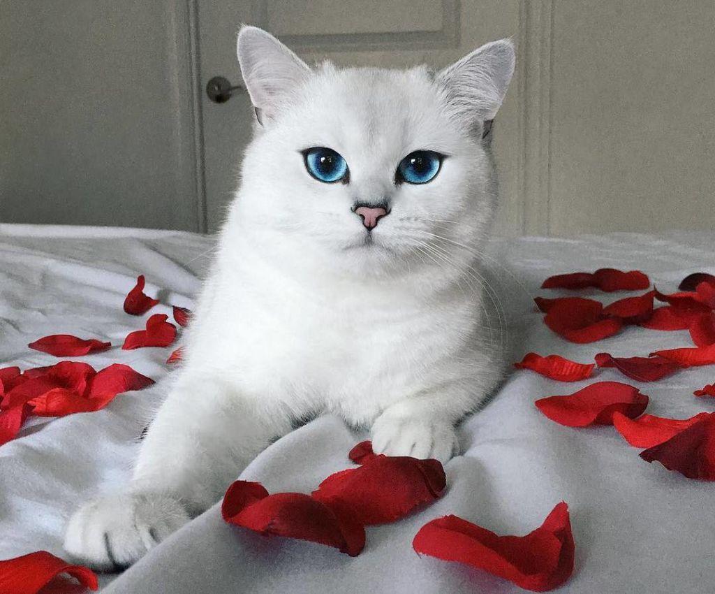 Белый кот Коби с красивыми глазами