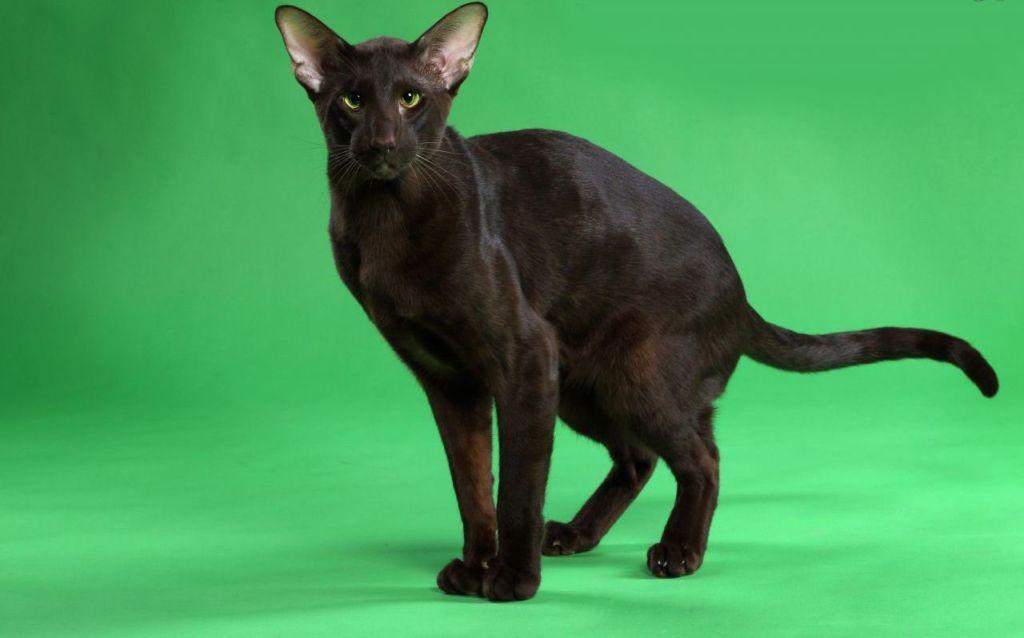 Кошка гавана это хорошо сбалансированное животное, среднее по размерам с мускулистым телом