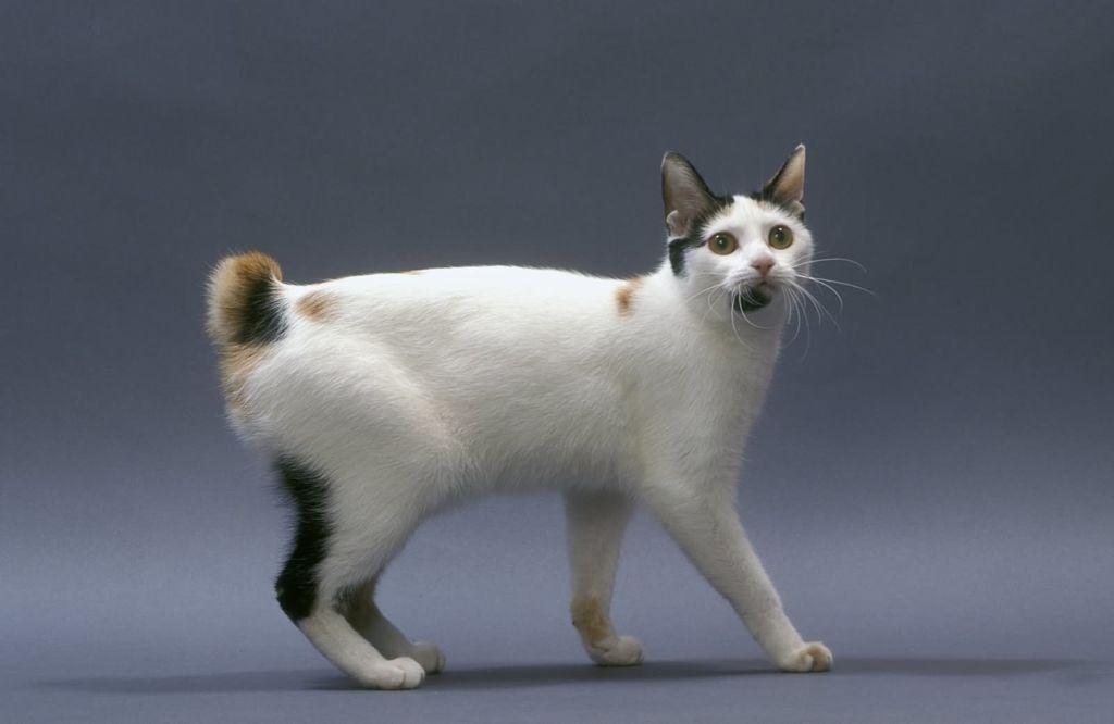 Описание короткохвостой породы кошек японский бобтейл