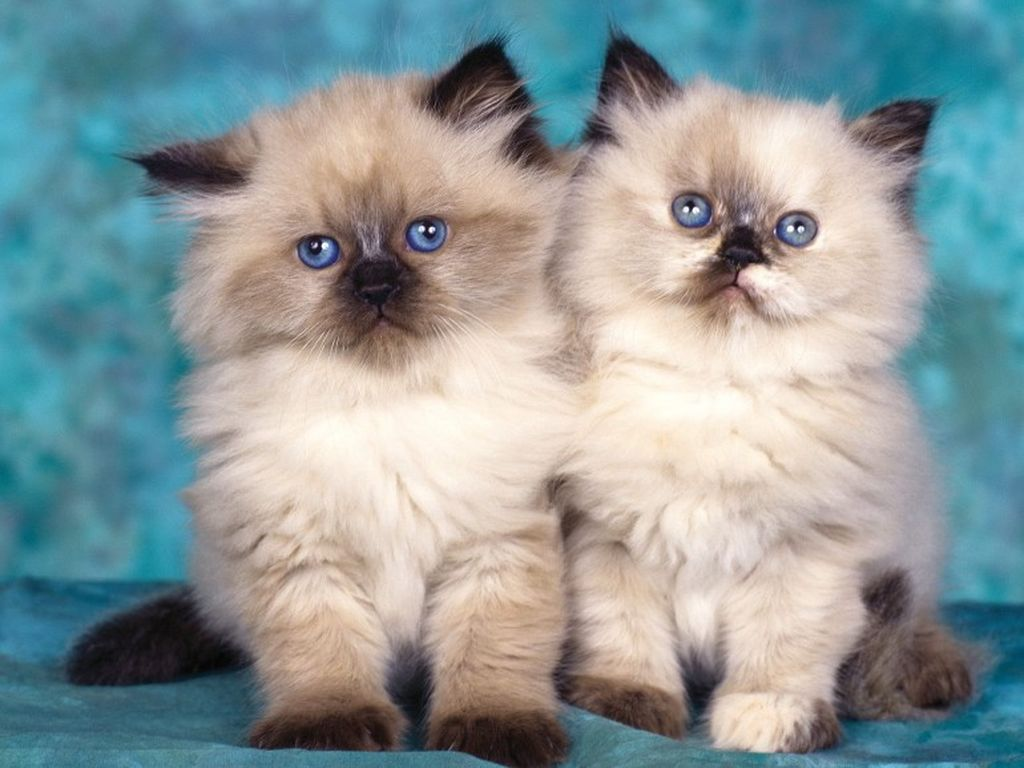 Кошки с приплюснутой мордой