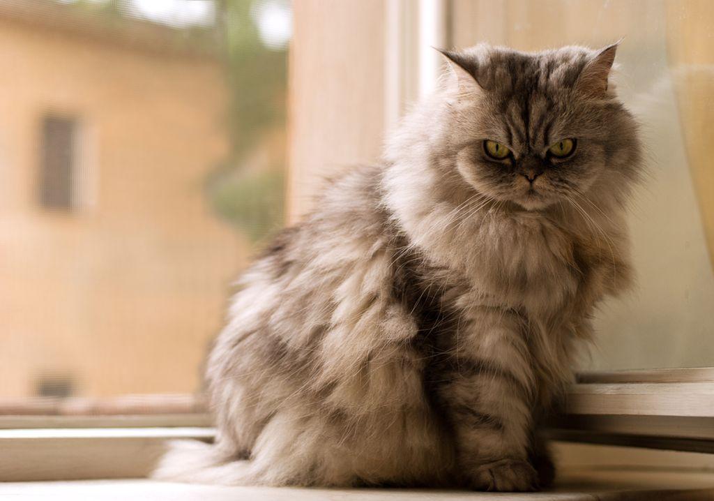 Мытье придает шерсти блеск, что важно для кошек, выступающих на выставках