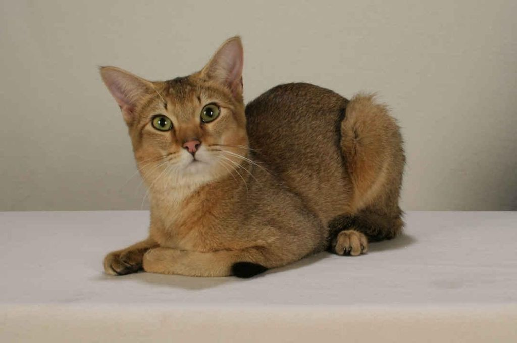 Кошка породы хауси