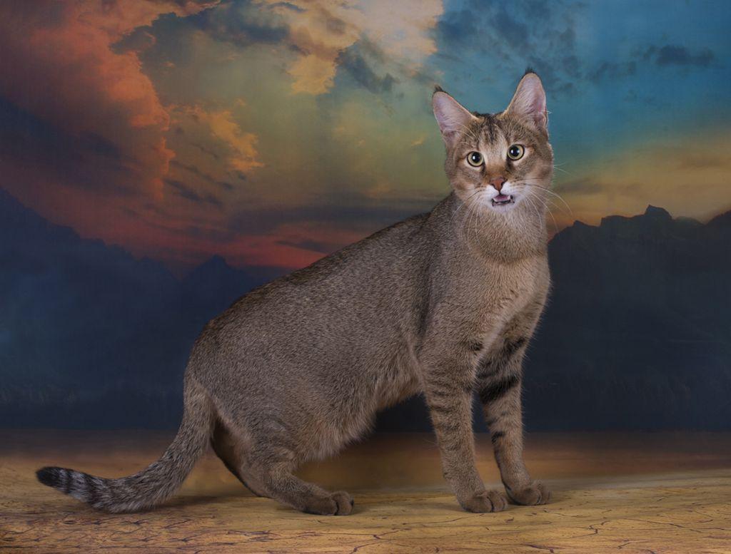 Чаузи крупнее обычных кошек, с развитой мускулатурой