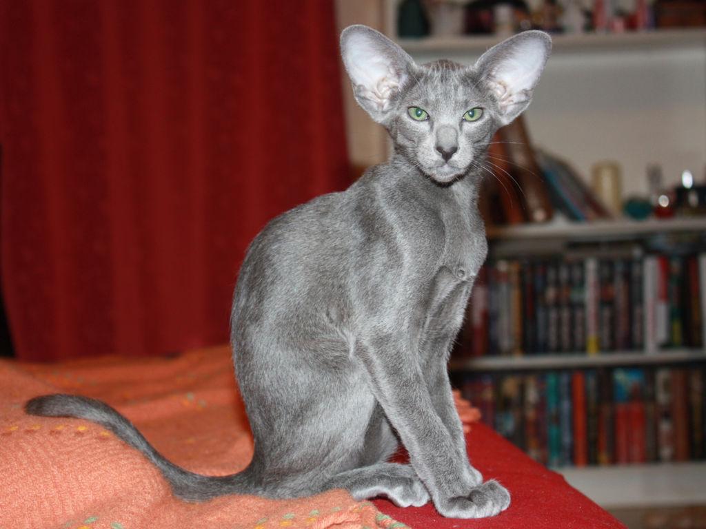 Ориентальная кошка голубого окраса