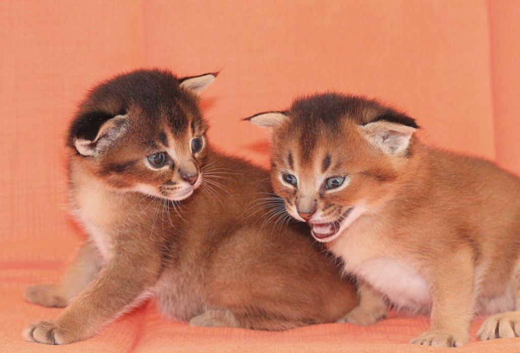 В случае удачной вязки на свет появляется 1-2 котенка, при этом мальчики всегда бесплодные