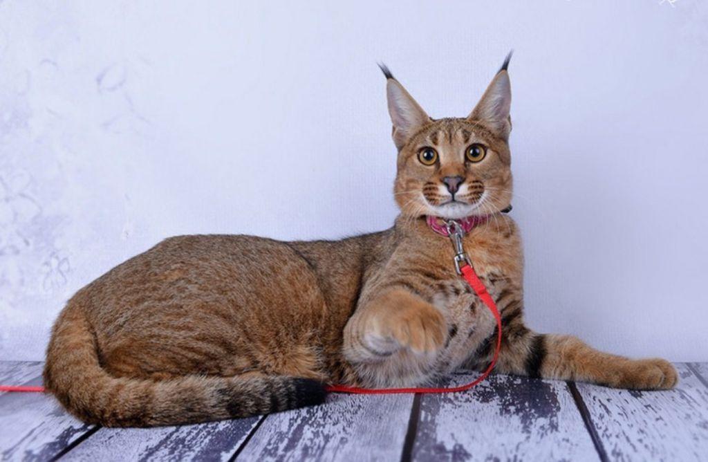 От предка Каракала эти коты унаследовали крепкое здоровье и хороший иммунитет
