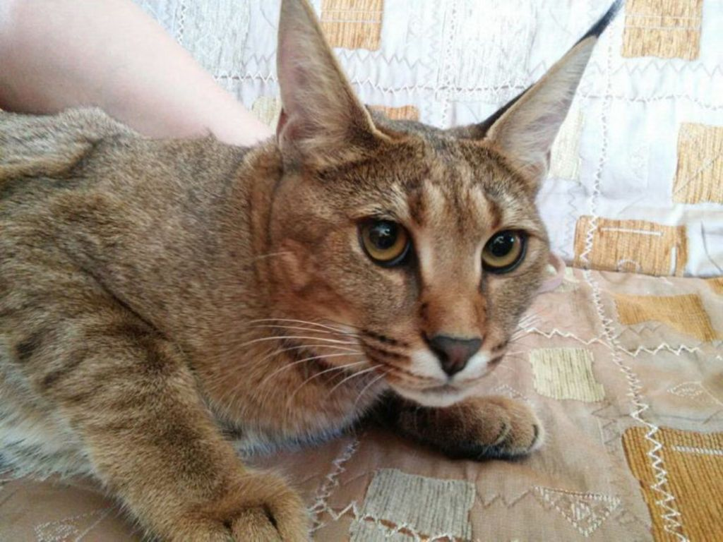 Кошки породы Каракет ласковые, дружелюбные и крайне любопытные