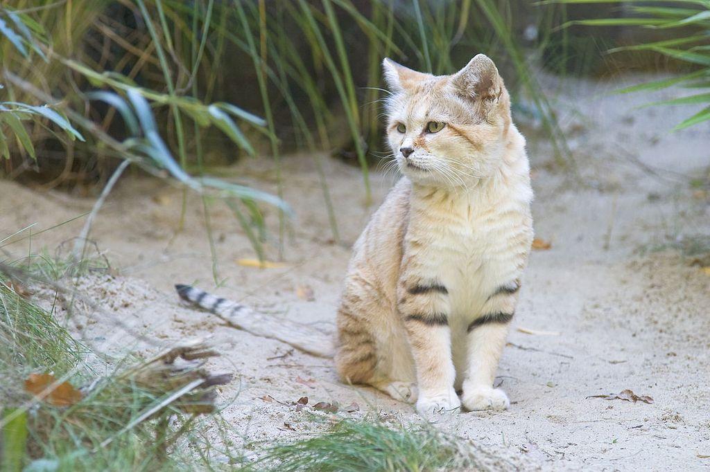 Барханная кошка обитает в центральной Азии и на Аравийском полуострове