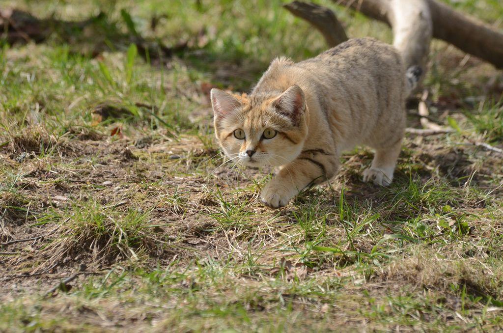 В момент охоты песчаная кошка передвигается ползком