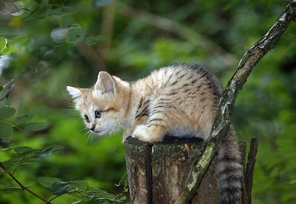 В 6-8 месяцев котята барханного кота уже становятся независимыми