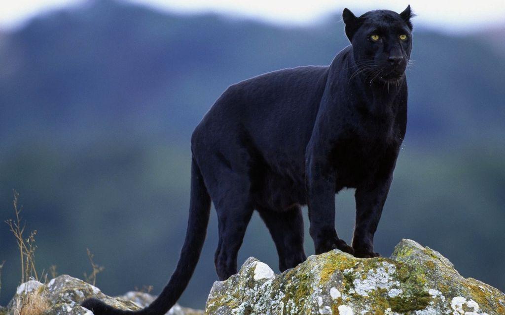Подробное описание черной пумы и существует ли она в природе